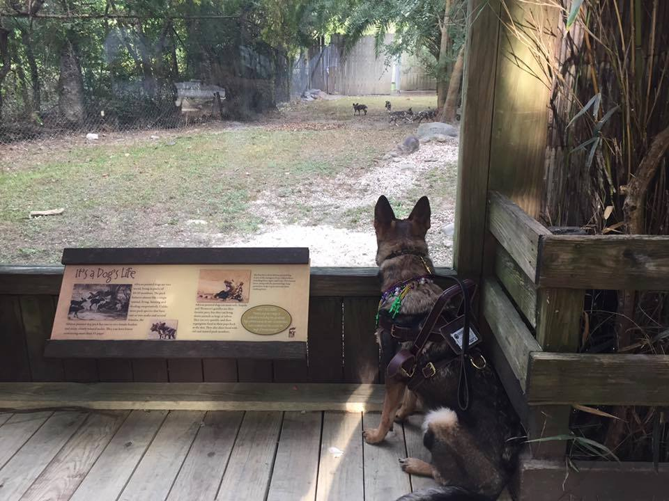 Karma watching the African Wild Dogs at the Audubon Zoo. Completely neutral.