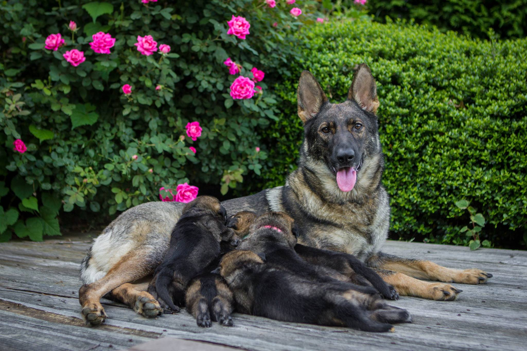 Karma with her puppies