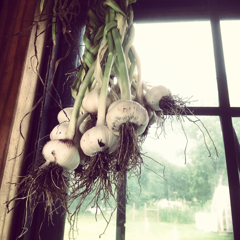 First ever garlic harvest!