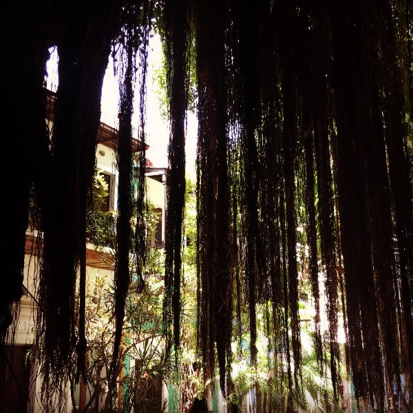 Peeking out from the banyan tree, Old San Juan.