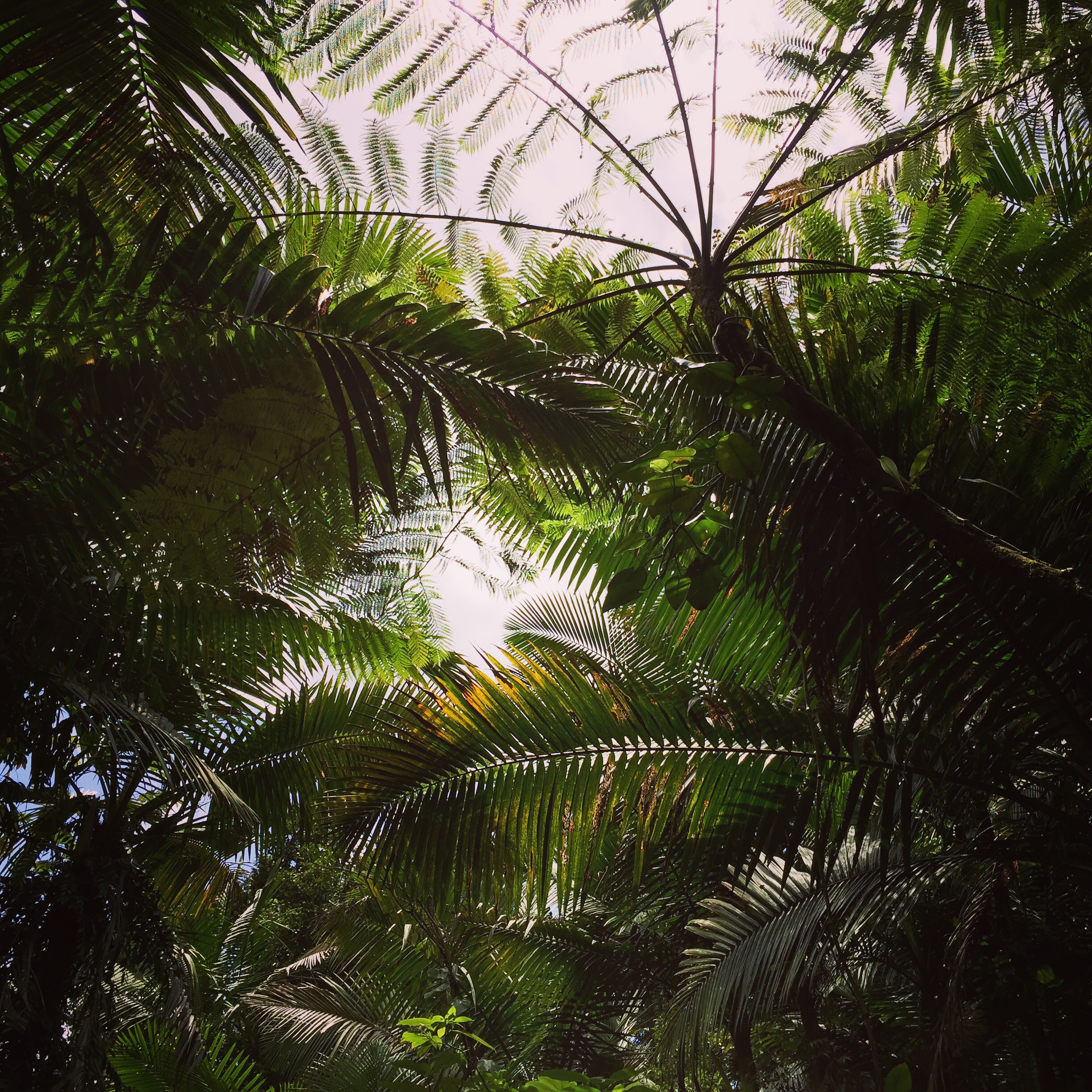 The sky through the rain forest. El Yunque. Always, my view is obscured.