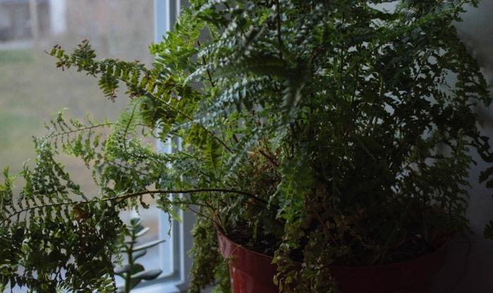 houseplant- fern