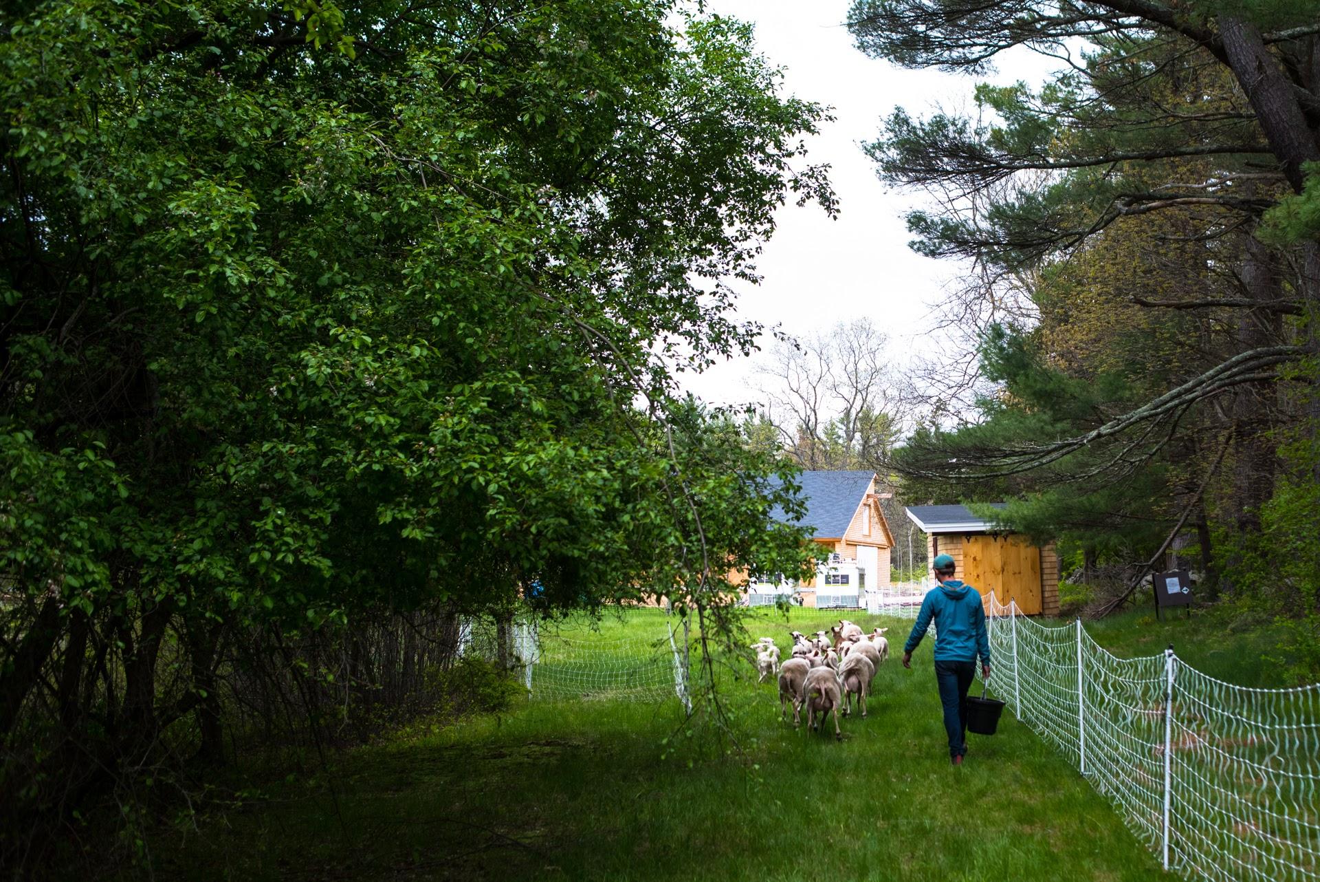 Nathaniel walking to pasture (Photo by David Murray).JPG