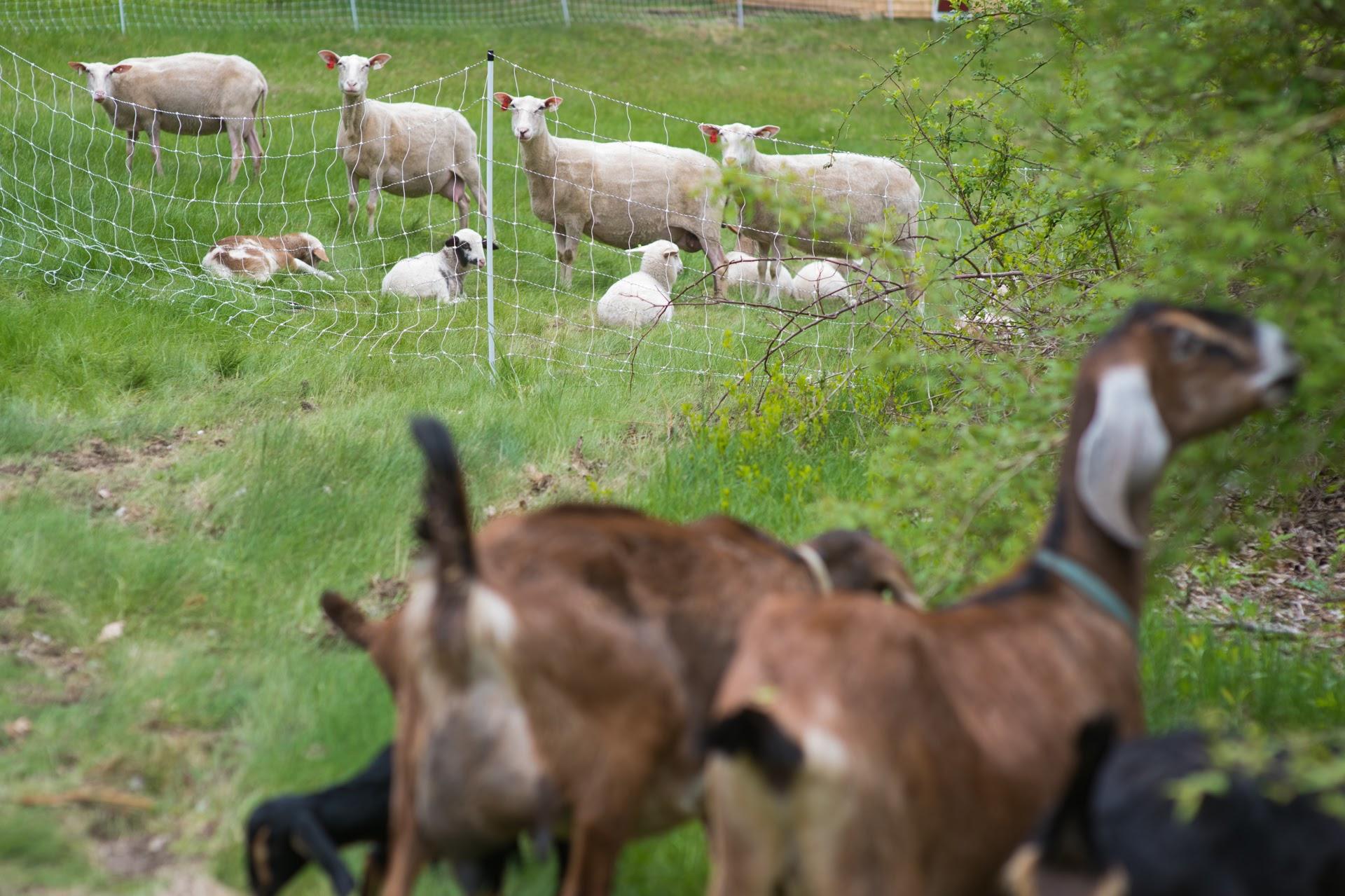Sheep & Goats (Photo by David Murray).JPG
