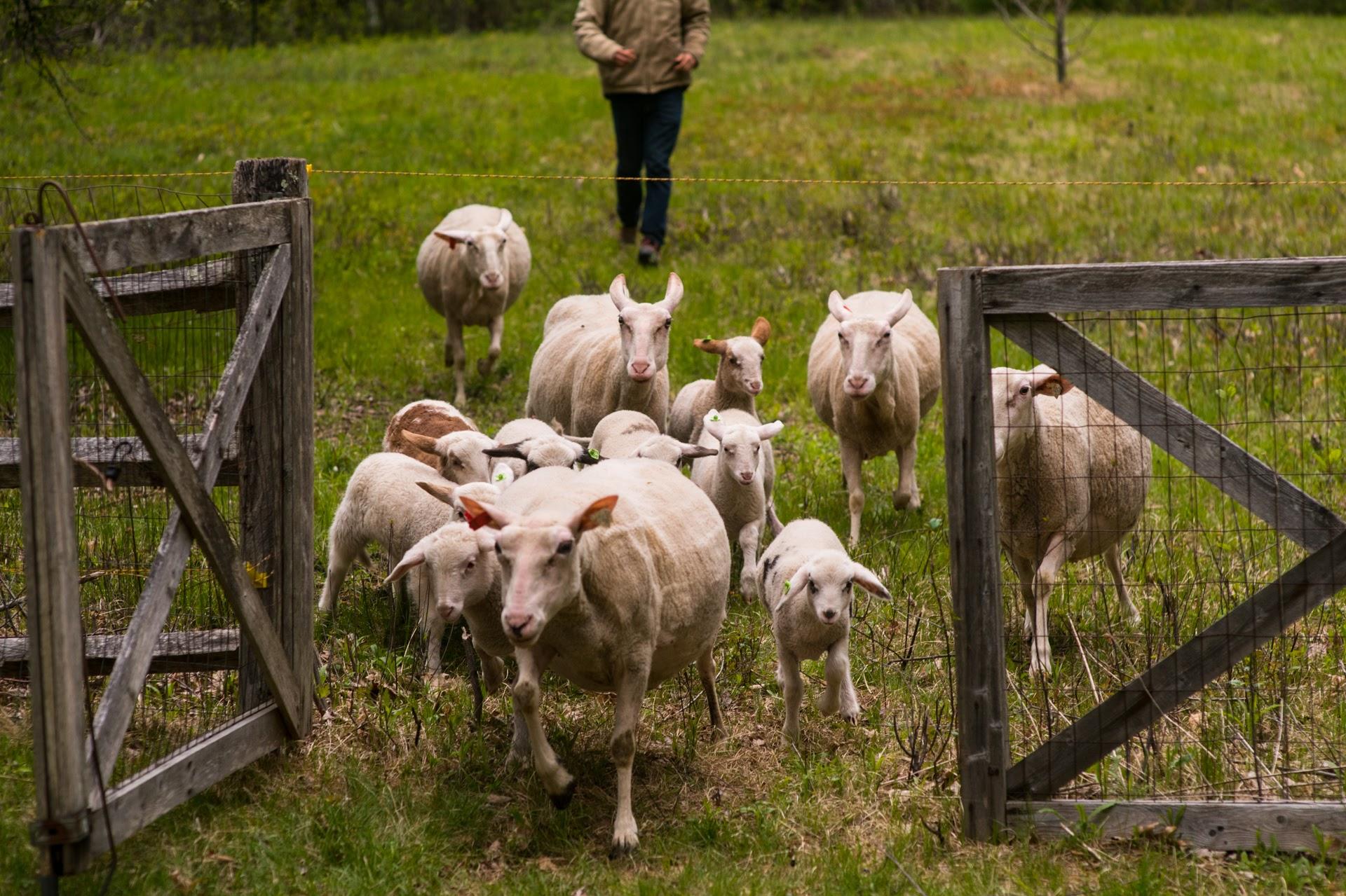 Sheep coming through gate (Photo by David Murray).JPG