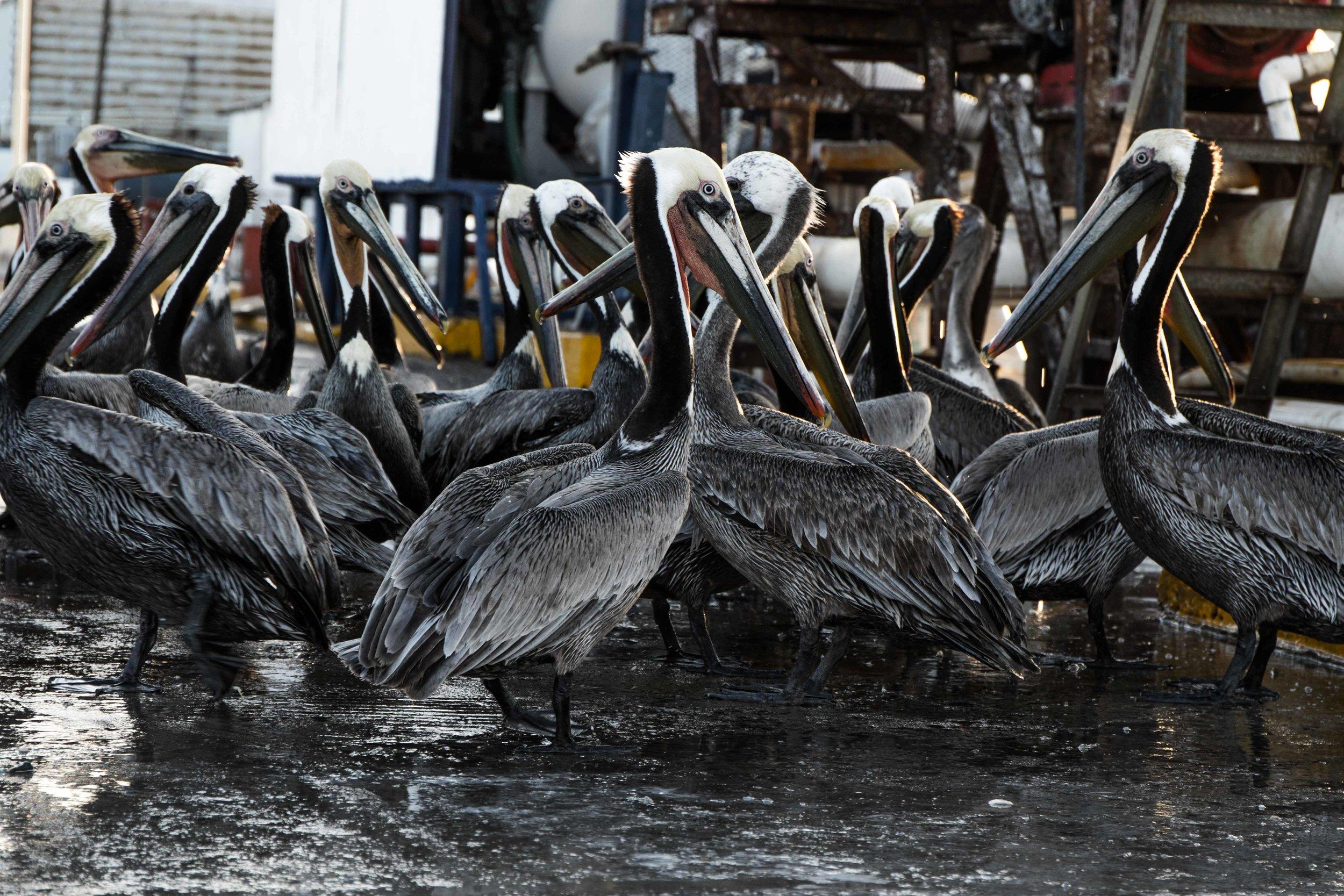 Pelican poachers