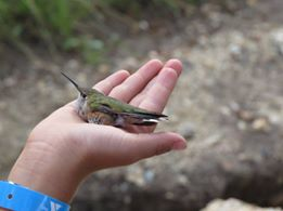 A Broad-tailed Hummingbird prior to its release.