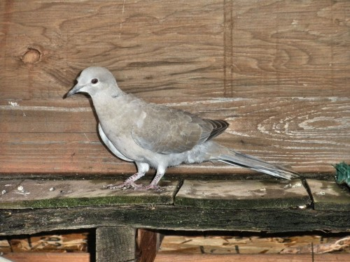 A Eurasian Collared-dove that crashed into a window and broke its right wing.  Here it is exercising in the flight cage prior to being released.