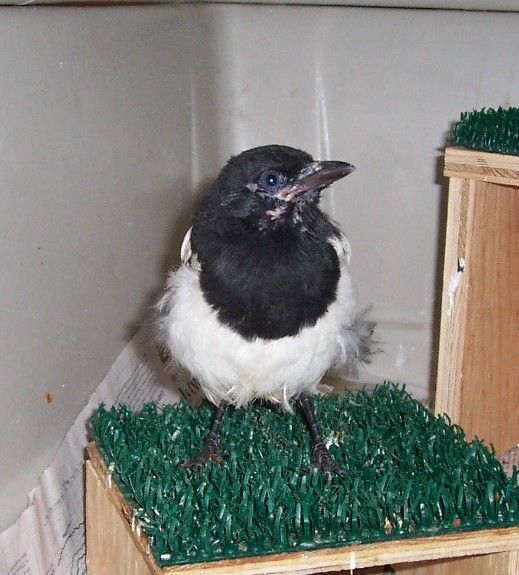 Young Black-billed Magpie that fell from its nest and was unable to be placed back, due to the height o the nest.