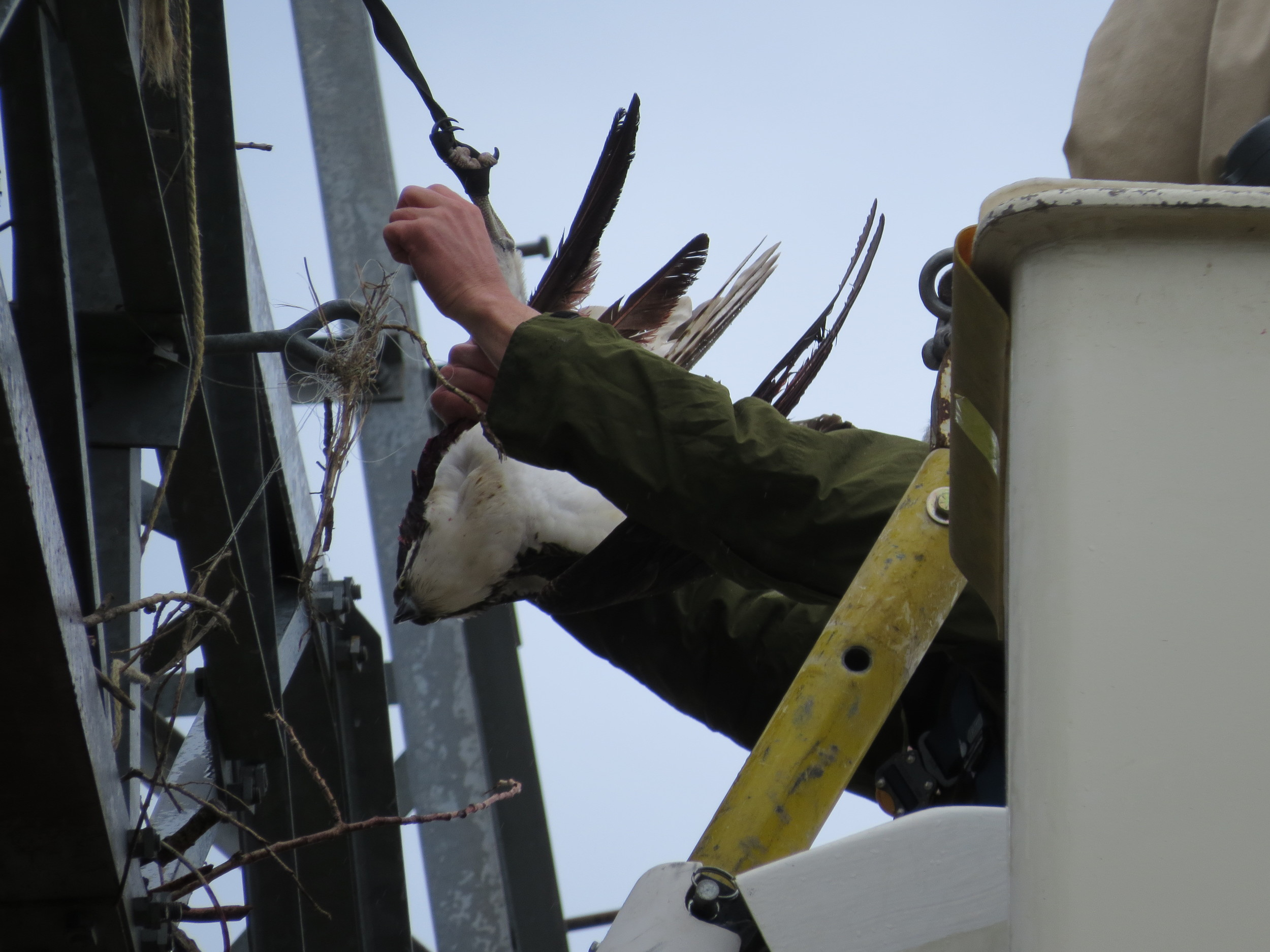 Scott untangling the Osprey.