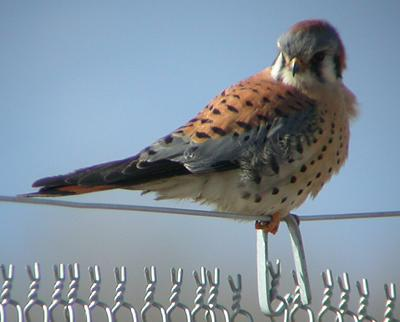 American Kestrel Camera — Colorado Avian Research and ...