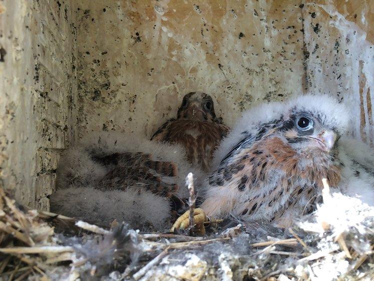 American Kestrel Research — Colorado Avian Research and