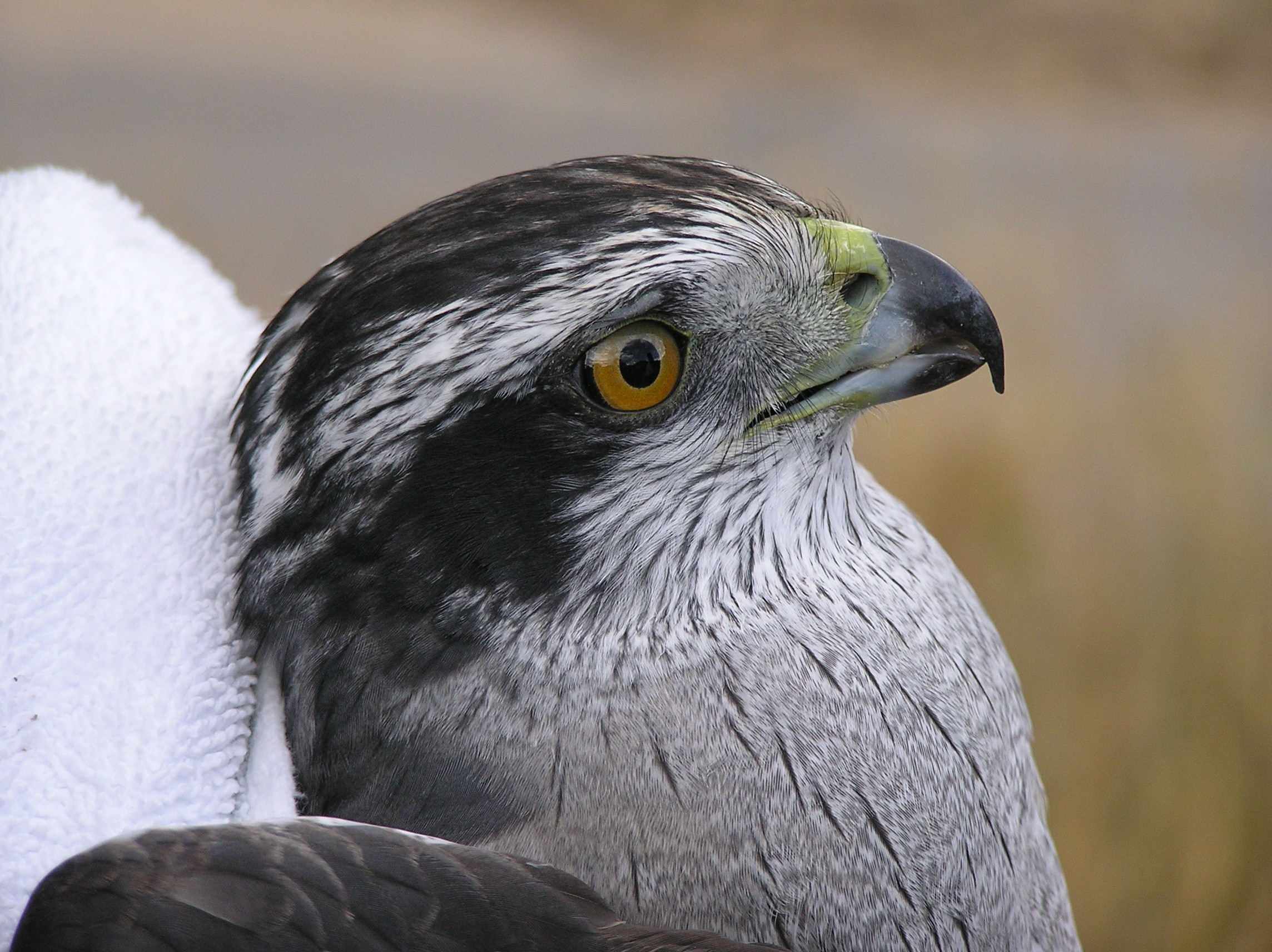 064f captured Goshawk.JPG
