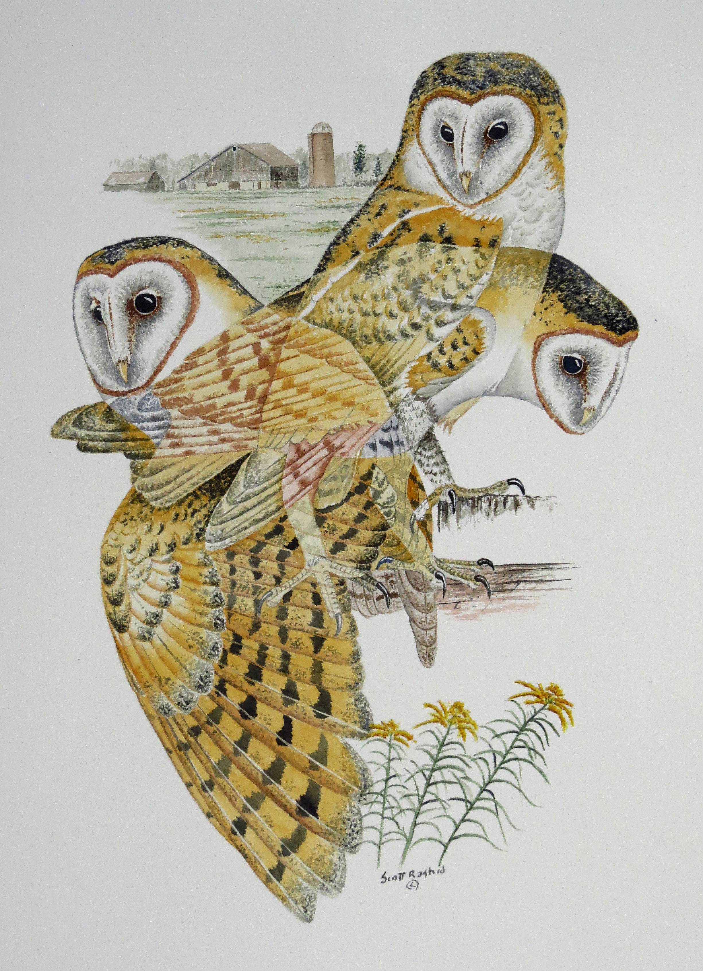 Barn Owl Watercolor - Prints of this painting can be purchased HereTo inquire about the Original Click Here
