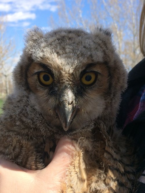 Cottonwood Great Horned Owls — Colorado Avian Research and