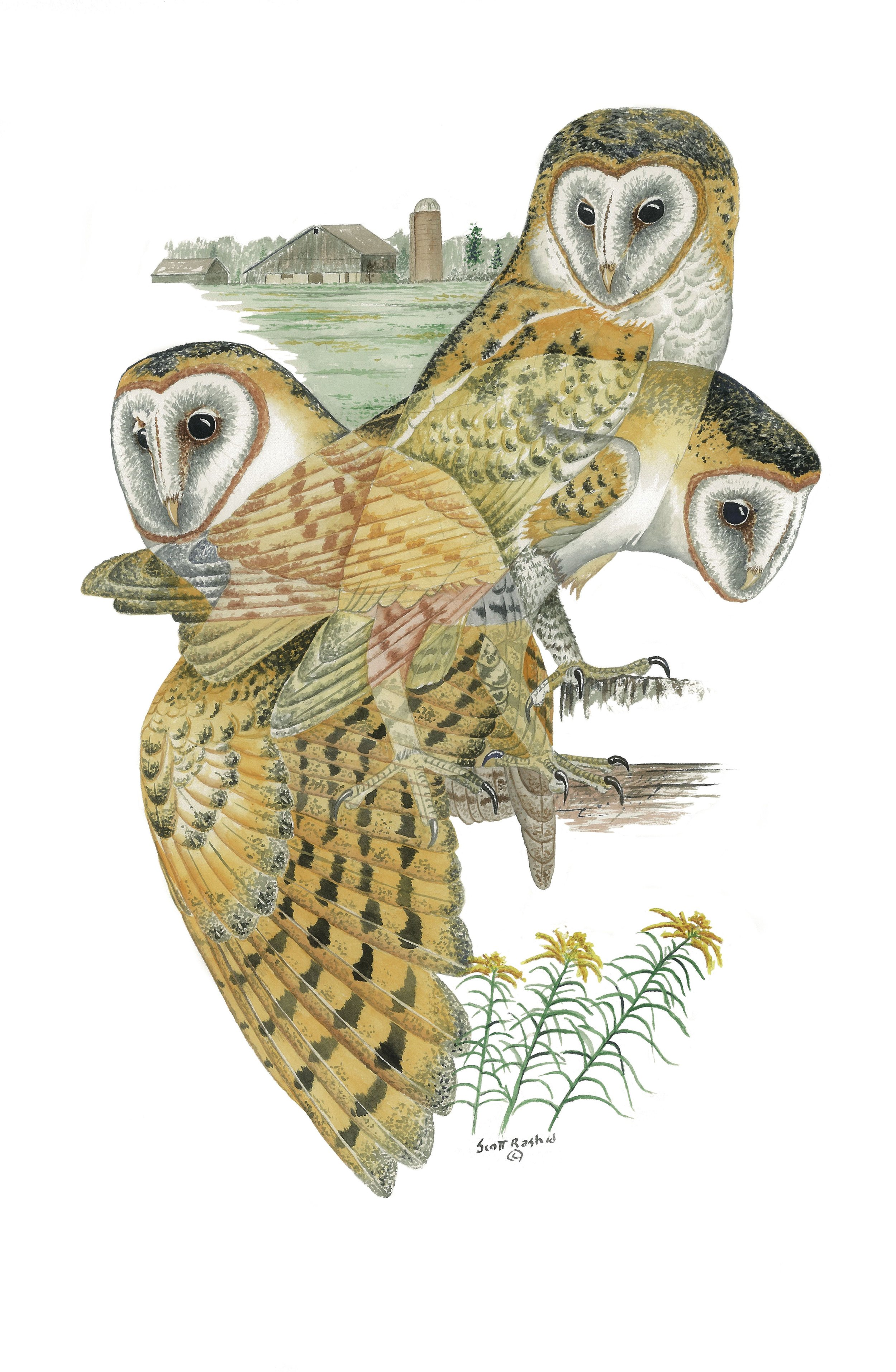 This is the Barn Owl image that you will receive for your Donation - It is printed from an original watercolor painting