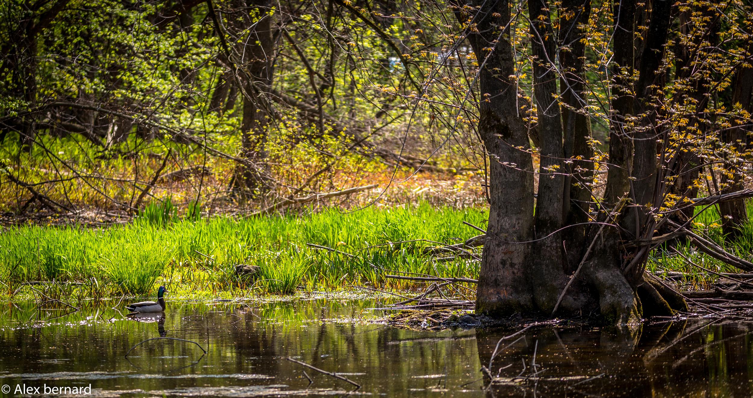 Comme vous pouvez le constater, une bonne partie de la halte routière d'#Otterburnpark se trouve en zone inondable. J'ai d'ailleurs appris à mes dépens en voulant prendre une photo le plus bas possible que même si le sol semble sec, il est gorgé d'eau. Heureusement, j'avais des shorts foncés qui ont absorbé le liquide sans que ça paresse trop. Tout ça pour dire qu'on retrouve un étang tout juste à côté de la rivière #Richelieu pour le plus grand plaisir de ce mâle #colvert.