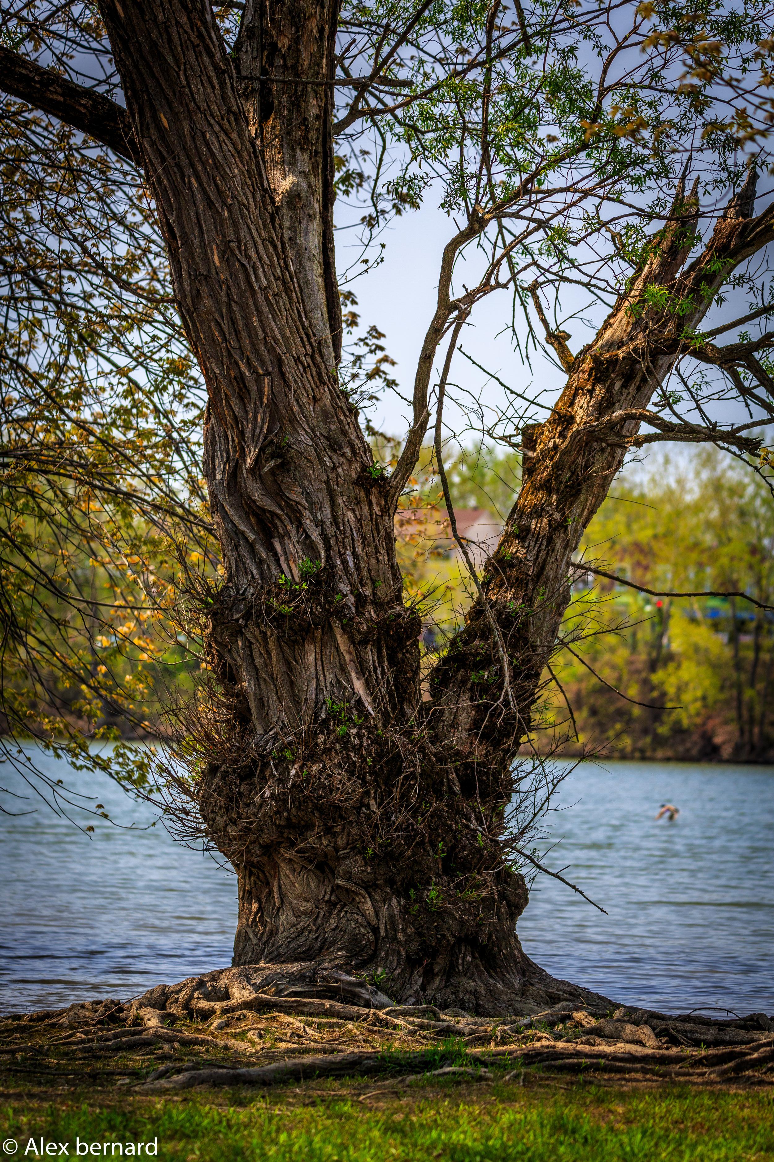 Je ne sais pas pour vous, mais je trouve ce vieil arbre fascinant. Je me demande bien quel âge il a. Une chose est certaine, il présente une forme pour le moins spéciale avec son écorce boursouflée. Pour les amateurs du Seigneur des anneaux, il me fait penser à un ent, ces vieilles créatures à mi-chemin entre les arbres et les hommes. Ou peut-être est-ce une ent-femme qui sommeille? On croirait presque pouvoir discerner un visage à sa base.