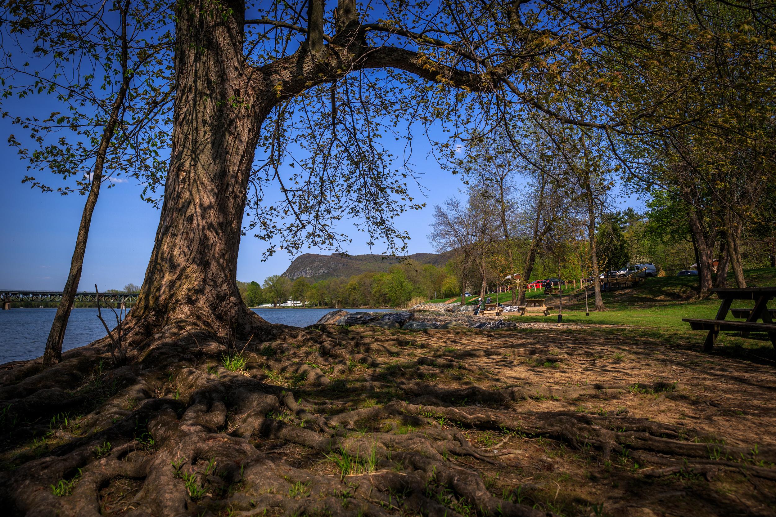Cette photo se veut un mélange des deux précédentes. Elle permet, d'une part, de visualiser le réseau de racines dans son ensemble, d'autre part, de replacer l'arbre dans son contexte en nous montrant les berges de la rivière #Richelieu, le pont des trains qui la traverse et le #MontSaintHilaire à l'horizon. On peut également remarquer la présence de quelques pêcheurs qui profite tranquillement du soleil en taquinant le poisson.