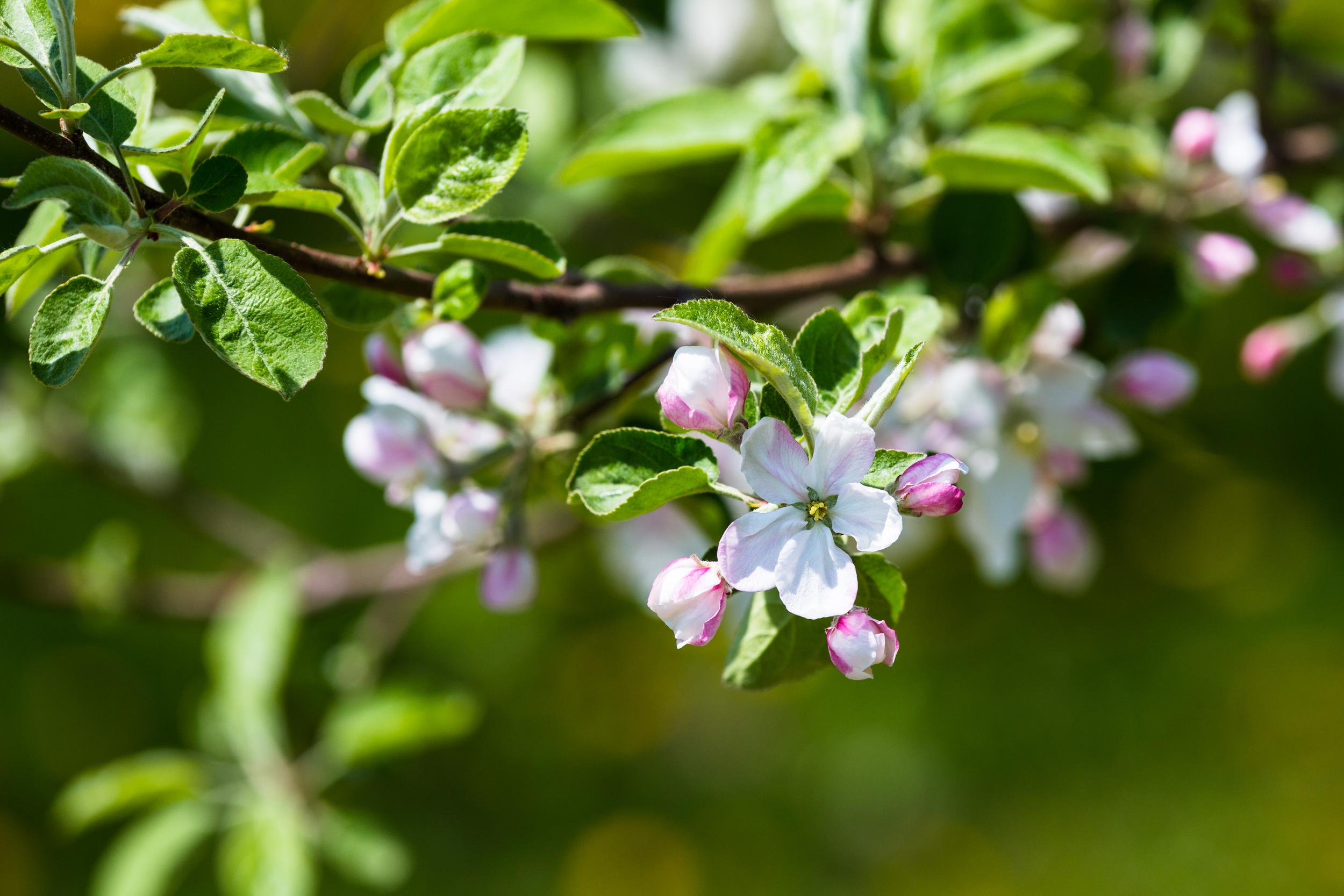 Même si le printemps nous a quittés depuis déjà près d'une semaine, cela ne nous empêche pas de pouvoir admirer ces fleurs d'un peu plus près. Comme je le mentionnais dans mon billet précédant, cette #fleur de pommier a été prise au verger #Cryo de #MontSaintHilaire au mois mai dernier. J'aime les pétales qui sont d'un blanc éclatant encadré et possédant une légère teinte. Le vert des feuilles a une brillance qu'on retrouve seulement au printemps alors qu'elles ont fraîchement éclos.