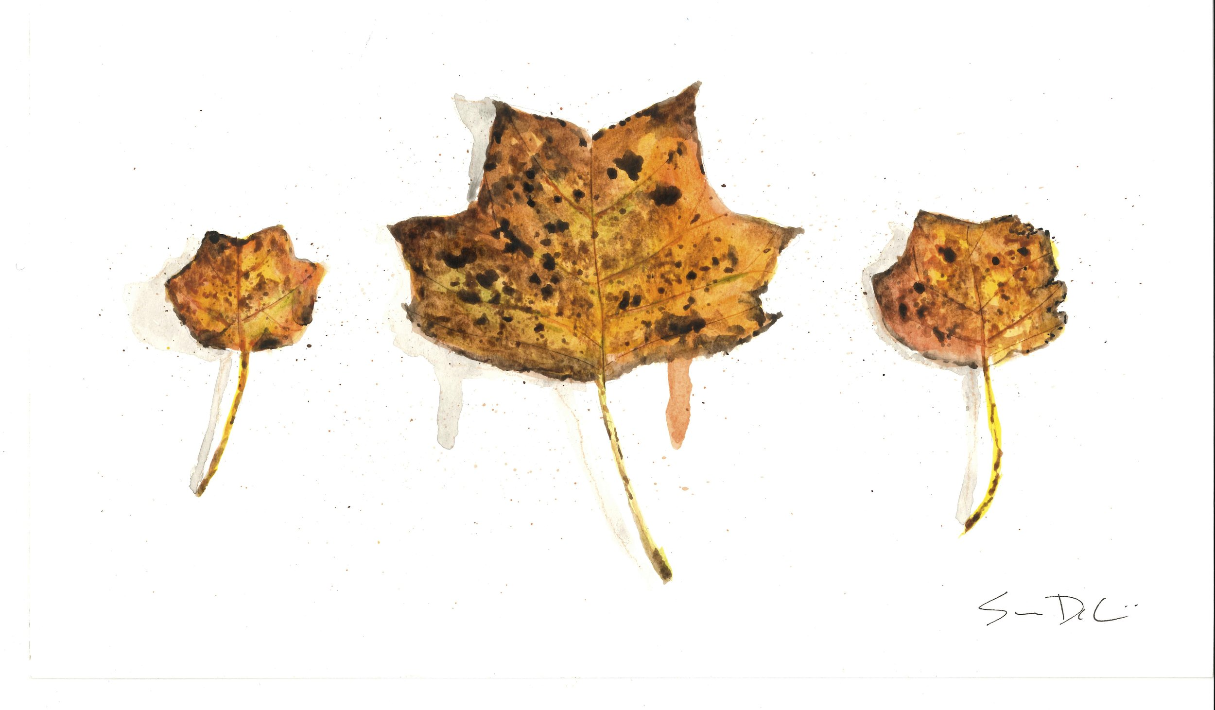 Tulip Poplar Trio 023