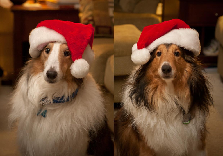 Christmas_Shelties_2011