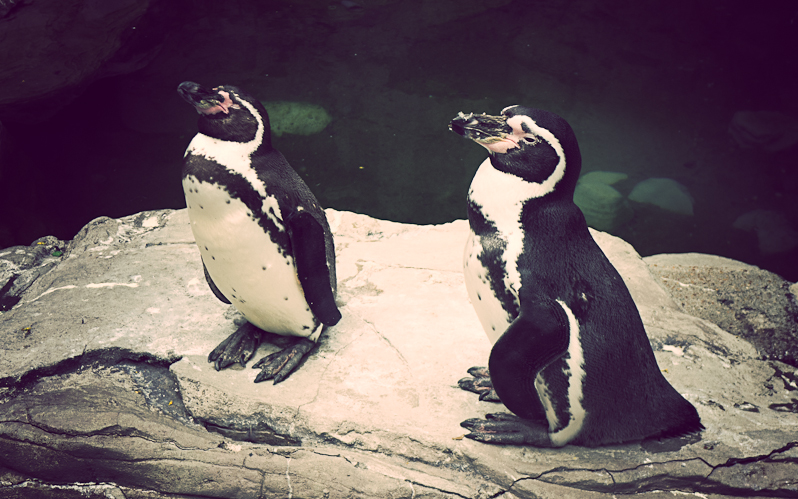 Penguins Hanging Out