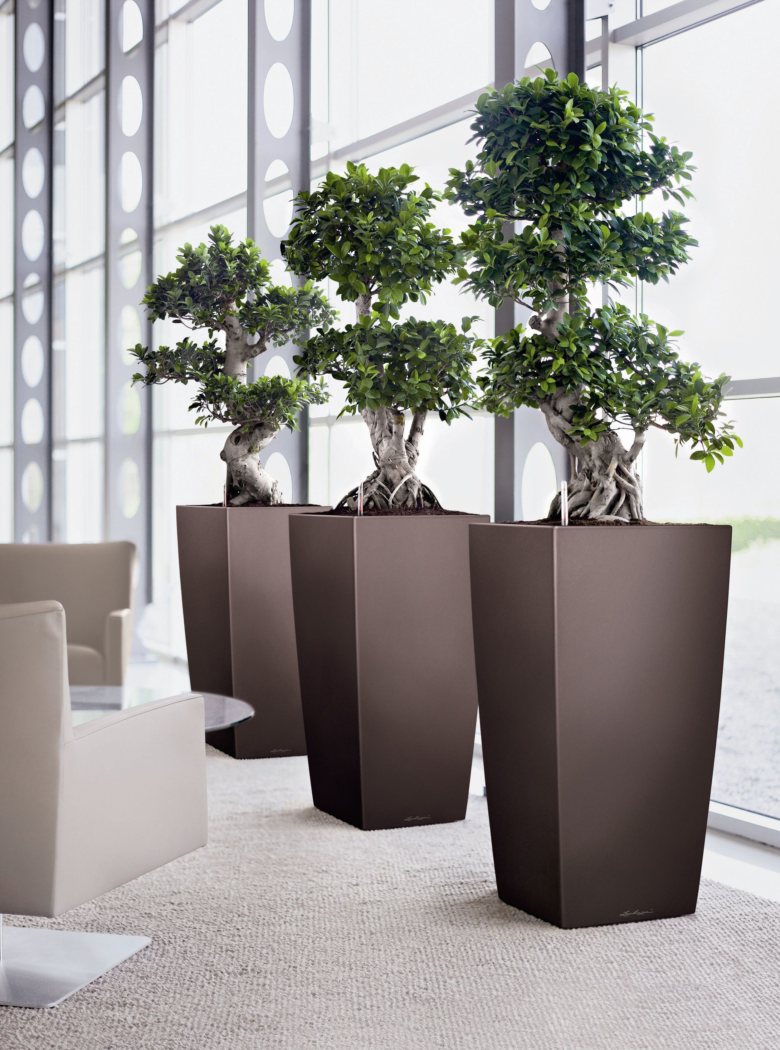 Cubico 50 Espresso 3 planters Ficus microcarpa - higher resolution .jpg