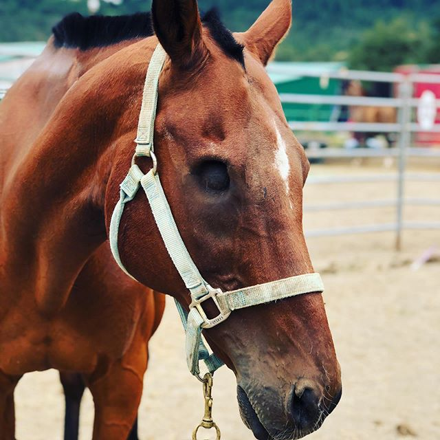Isn't this the most handsome face? Samsung not only has the looks, he's got the kindest personality, too. This big, sweet gelding loves attention in every form and is the type that wants to bond with you. He is currently on stall rest but will be available again for adoption once he has made a full recovery. Contact #oregonhorserescue or visit oregonhorserescue.com/adoption for more information on our process to adopt. #thoroughbredsofinstagram #bayhorses #ottb
