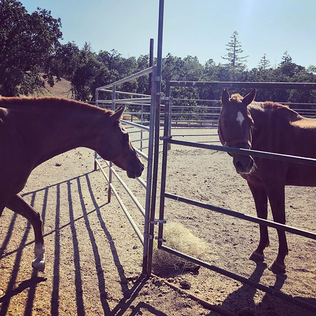 Caspian is wondering why #gemmatheredhead is getting all the good stuff! Both of these sweet horses are available for #adoption through OHR and you can find out more about them online at oregonhorserescue.com/adoption #horsesofinstagram