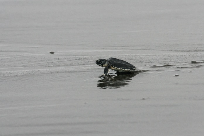 Baby green sea turtle making its way to the Caribbean Sea, Costa Rica