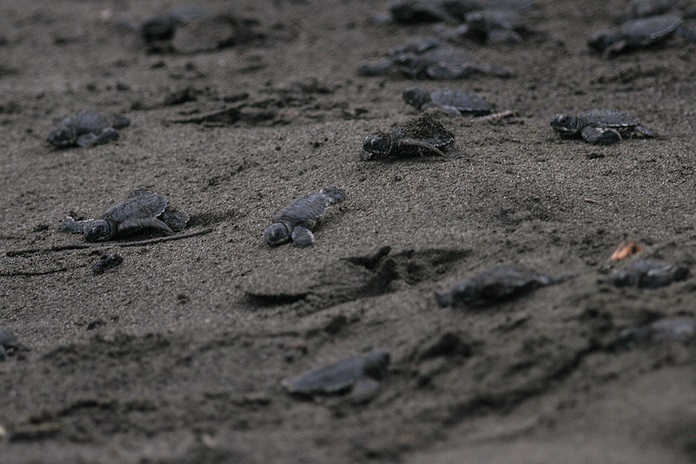 Baby green sea turtles heading to the Caribbean warm waters; Costa Rica
