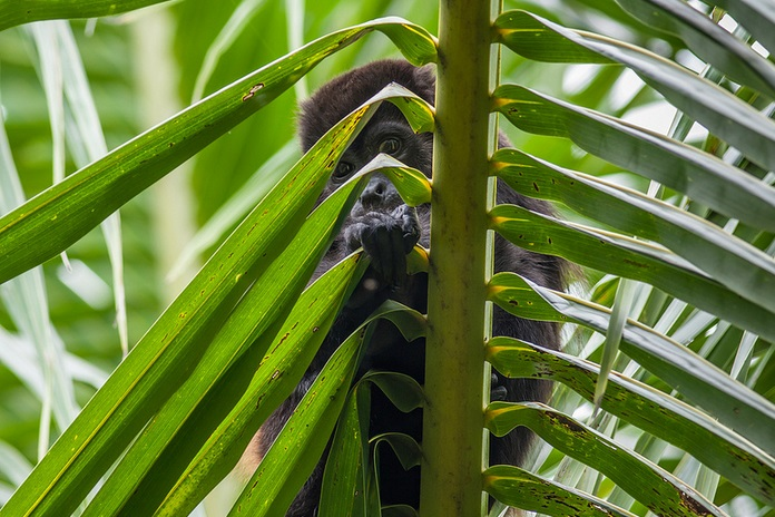 Young Howler Monkey on the Caribbean Coast, Costa Rica