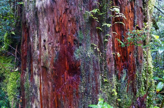 Alerce Trees, Pumalin; Pumalin nature, trees, rainforest
