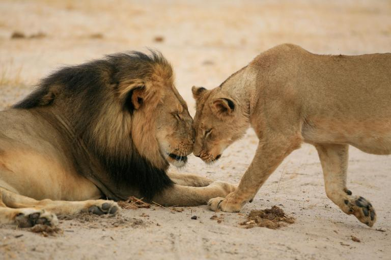 Cecil the Lion with his mate in Africa.