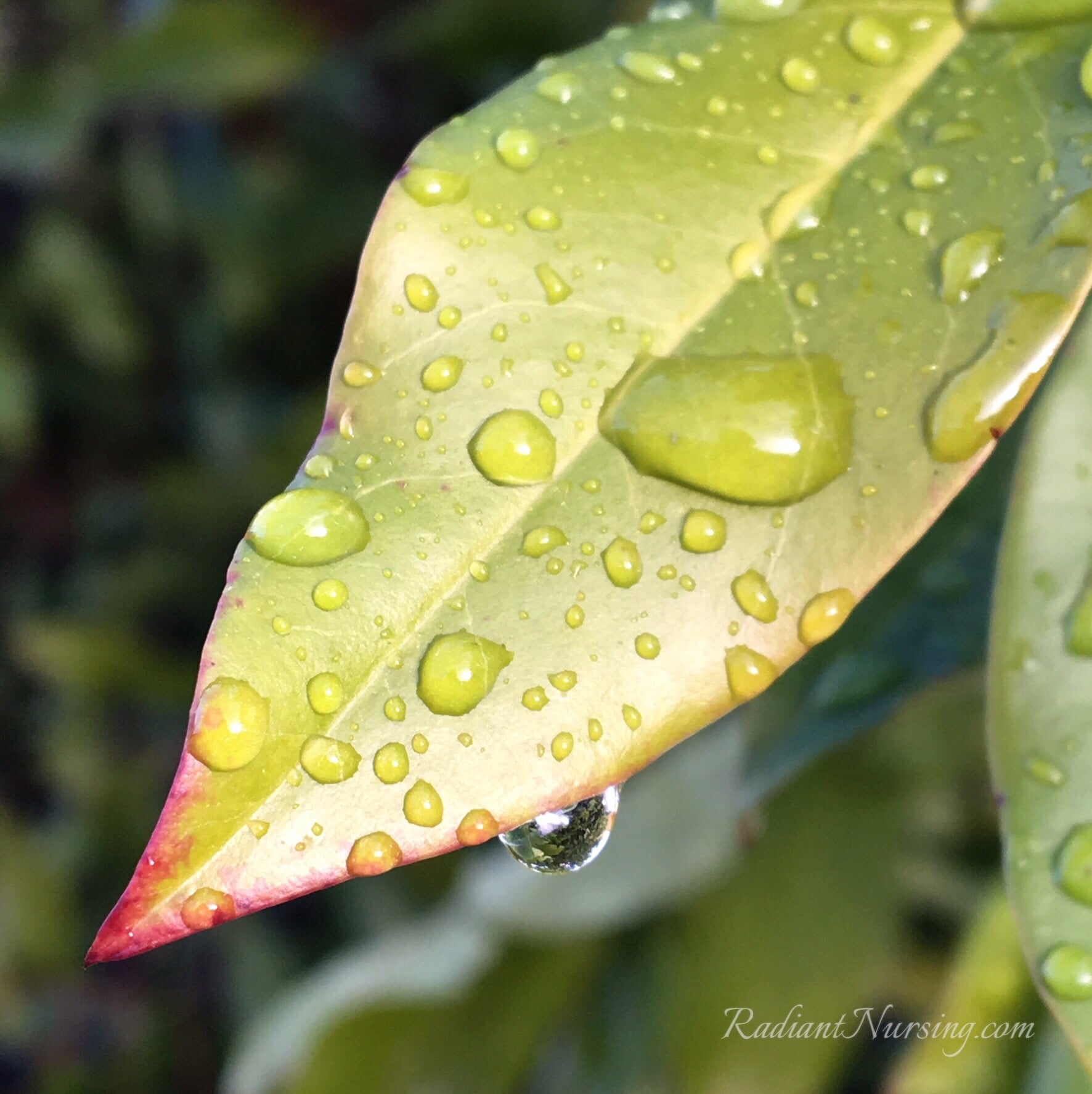 After the rain, water drops on a leaf. Nature in your own backyard.