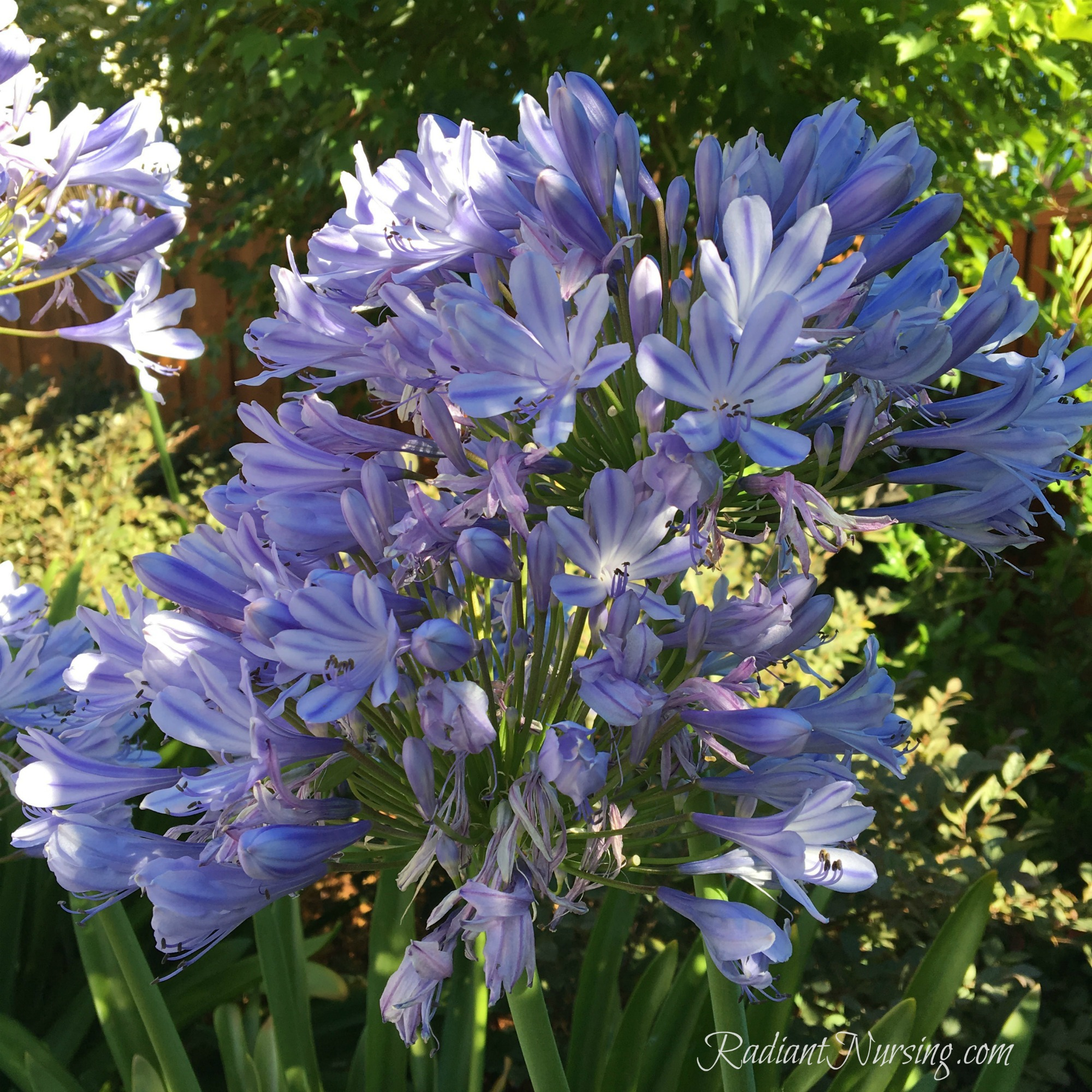 Flowers bloom with all their hearts in Agapanthus.