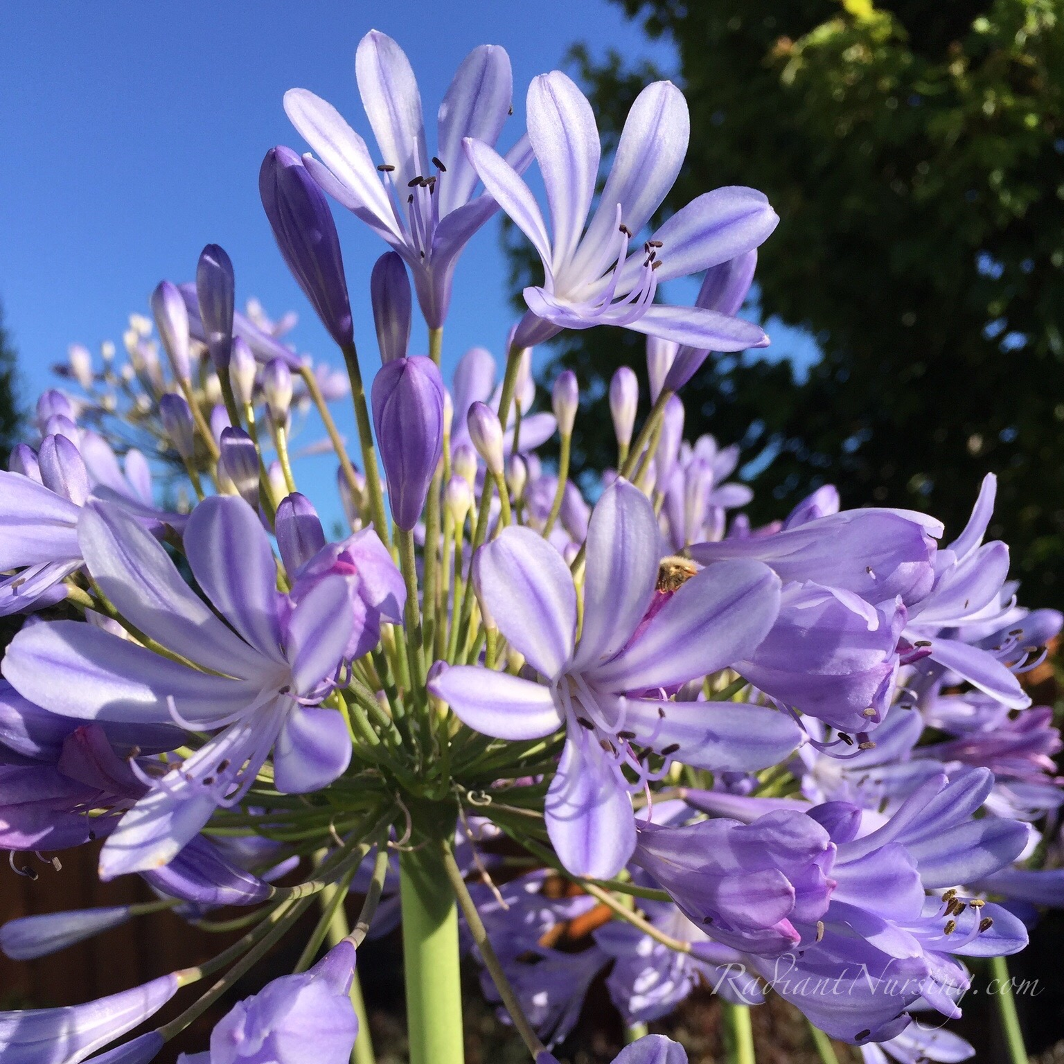 Agapanthus happily blooming.