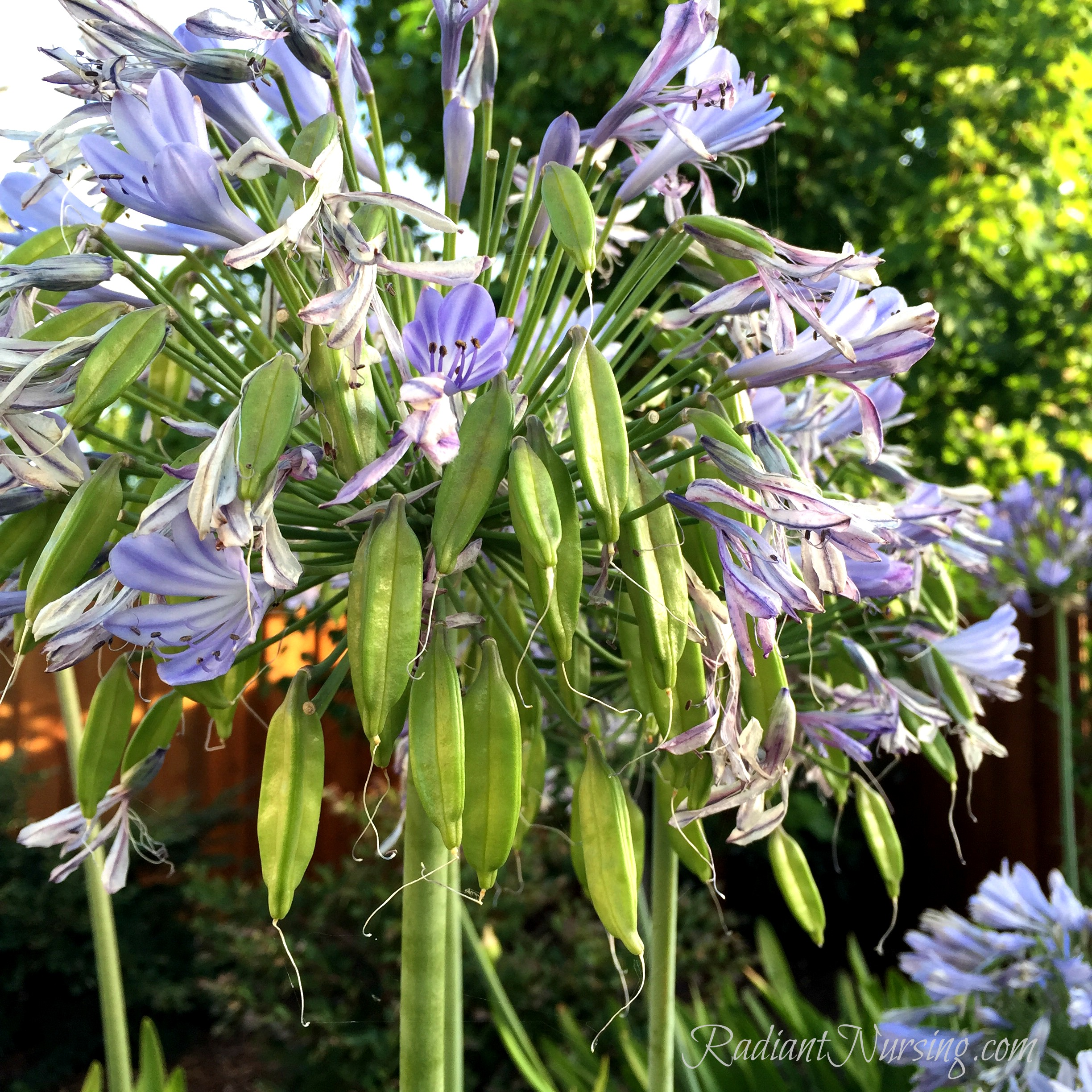 Seed pods on Agapanthus. After the blooms.