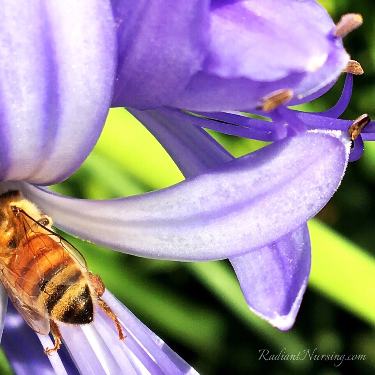 A golden honey bee checks out the nectar in a blossom of Agapanthus.