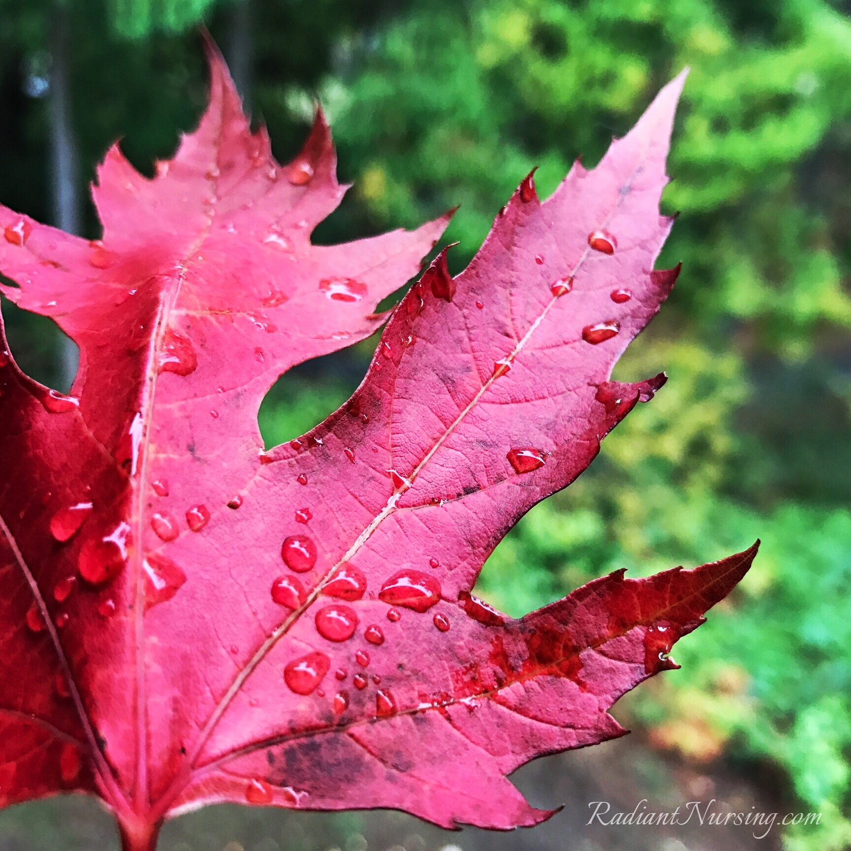 A first red leaf of this season of fall. Or do you call it autumn?