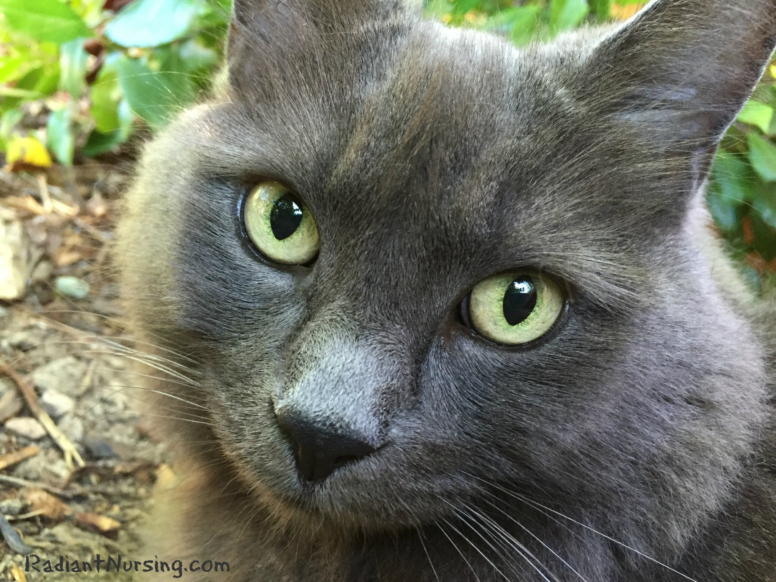 Ariel, the neighbor kitty, with her sweet grey face.
