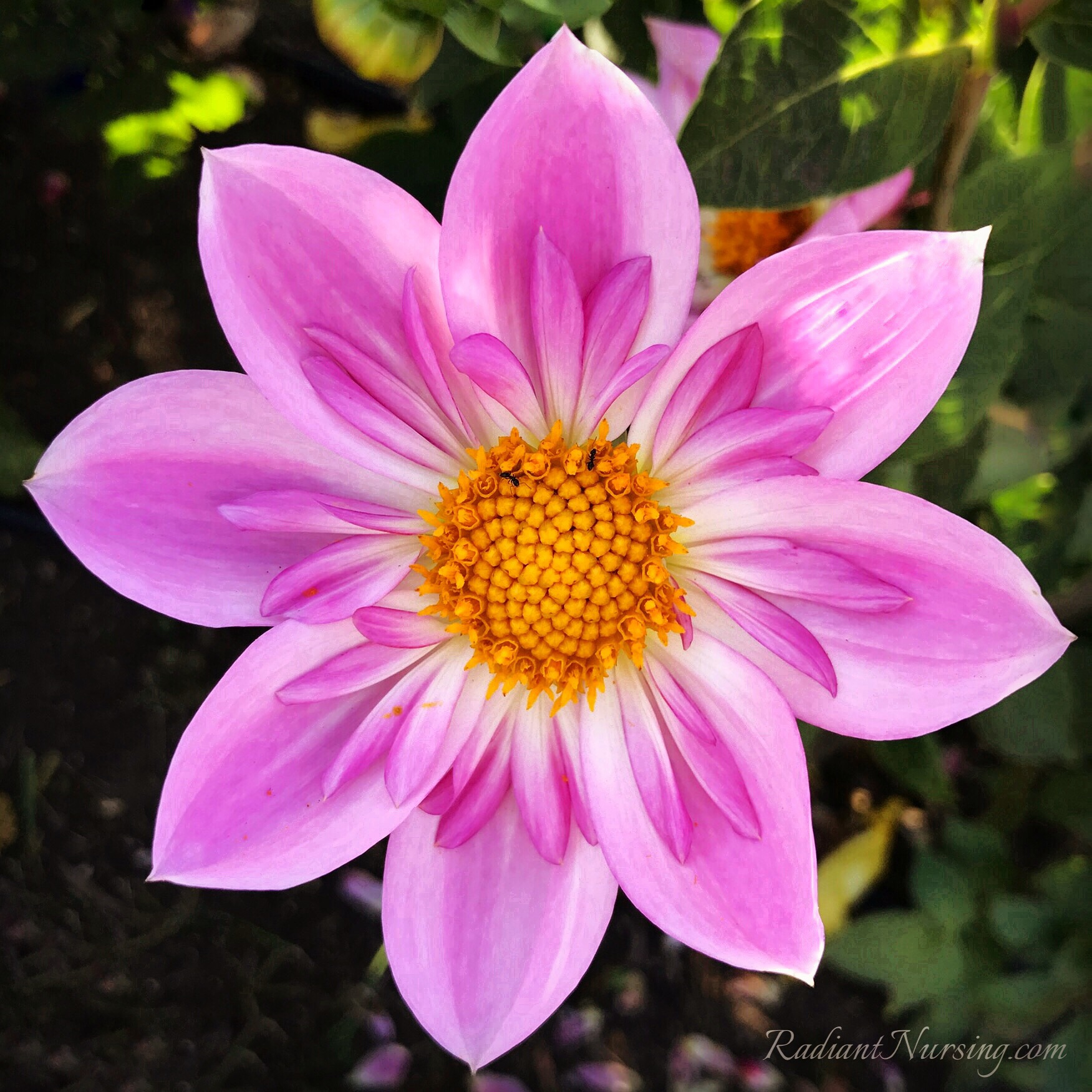 This is actually a dahlia flower. Love the ring of inner petals.