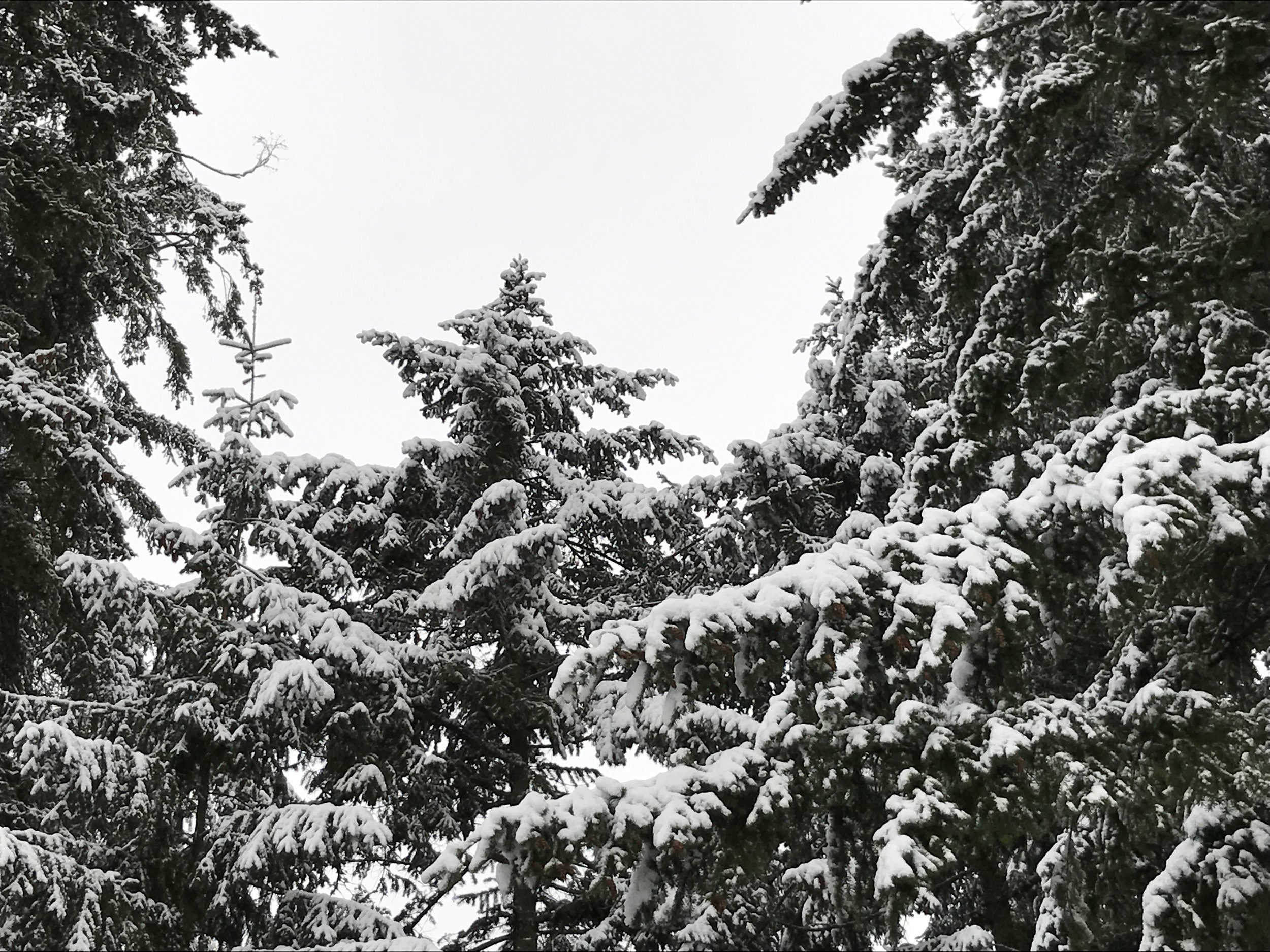 Nature's flocking, real snow, covered the trees for the holidays.