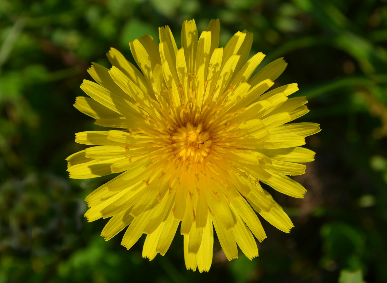 A Dandelion is a beautiful flower.