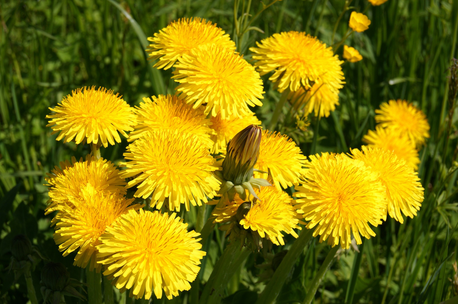 Dandelions smile at the sun.
