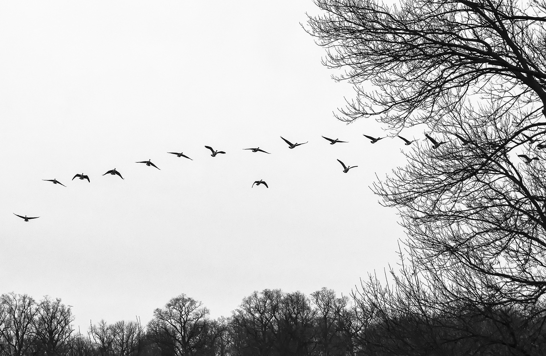 Geese lift off from the field and move across the sky.
