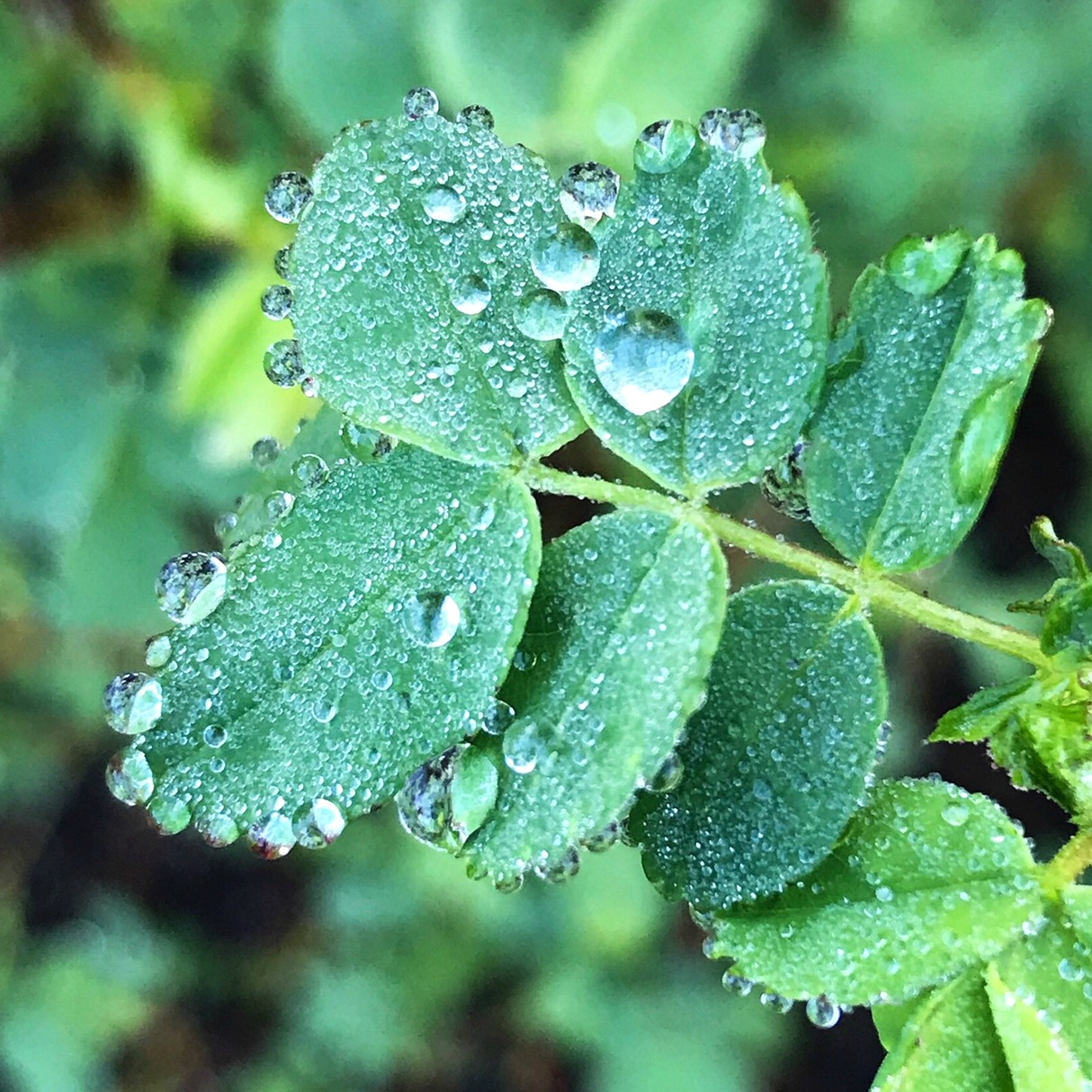 Morning dew on the leaves.