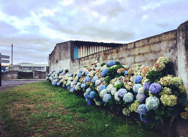 Hydrangeas   All over the island!