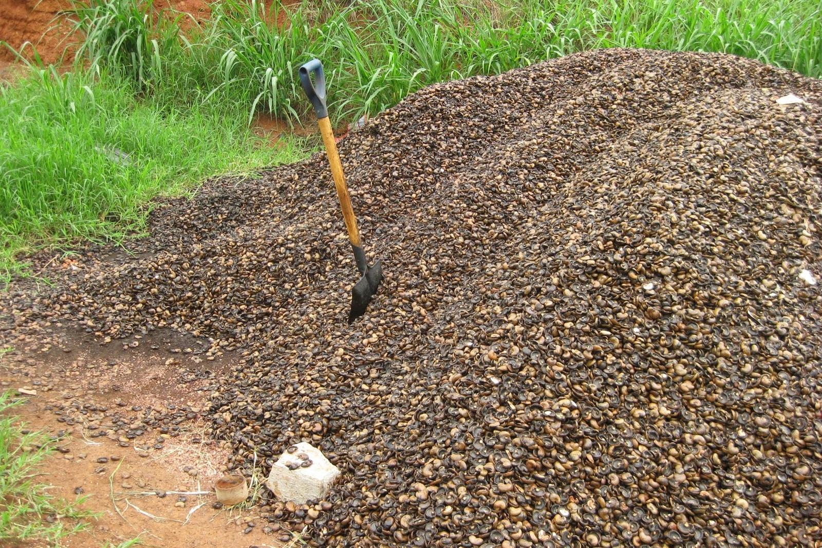 De cashewdoppen, die overblijven na het pellen. Een prima bron van duurzame energie, daar doen we nu nog veel te weinig mee. Veel wordt gewoon gedumpt… -